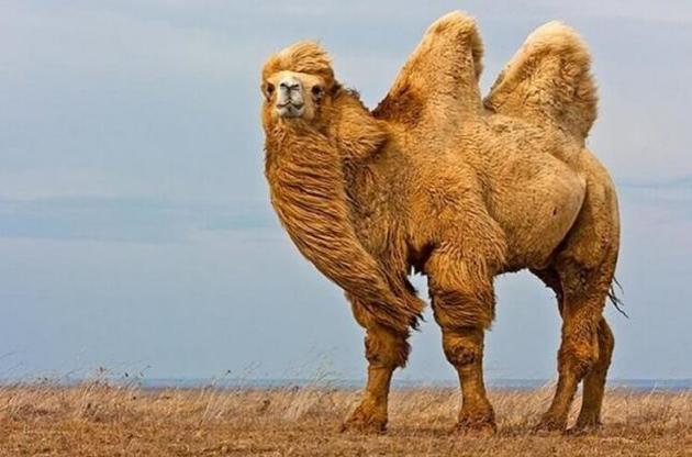Самый высокий верблюд в мире? Какой из верблюдов самый высокий ... | 416x630