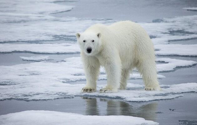 Таяние льдов Арктики может привести к отравлению белых медведей – ученые
